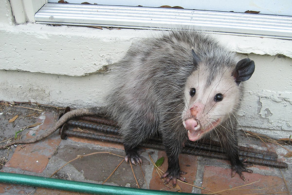 If the opossum is not already living in your yard, then fencing would be good for keeping them out. It could be a picket fence, electric fence or even a ...