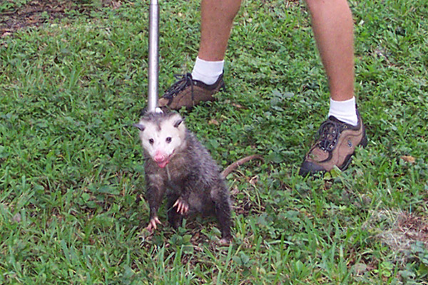What are some ways to kill an opossum in the yard?