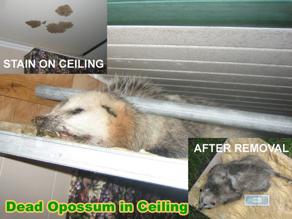 How to Kill Possums With Poison