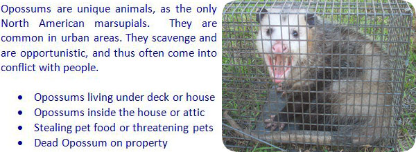 How To Get Rid Of Possums In The Yard Attic Roof Deck